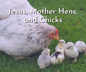 Jesus, Mother Hens, and Chicks